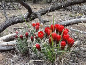desert flowers in New Mexico